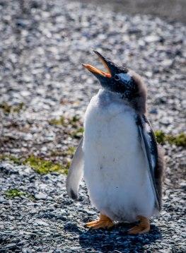 penguinbabyfuzzhead