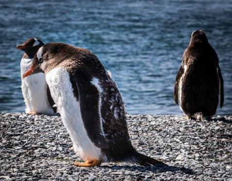 penguinsideways