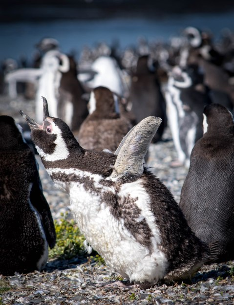 penguinsquack